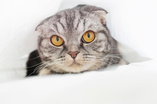 Серый шотландский вислоухий кот сидит на кровати в простыне. понятие о домашних животных, комфорт, уход за животными, содержание кошек в доме. светлый образ, минимализм, copyspace.