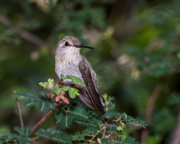 Coquettish female hummingbird perched within a fairy duster plant