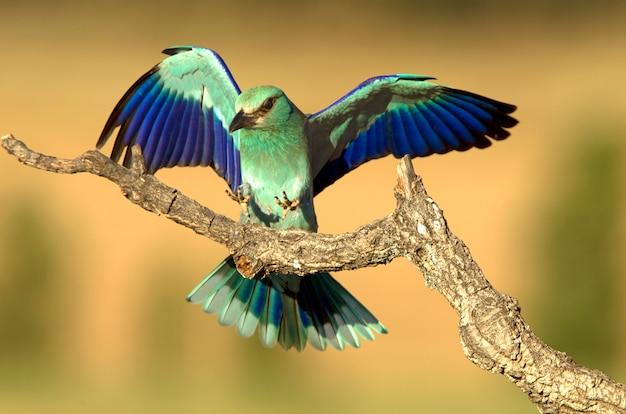 その日の最初の光、鳥、cor形、コラシアスgarrulusのヨーロッパのローラー