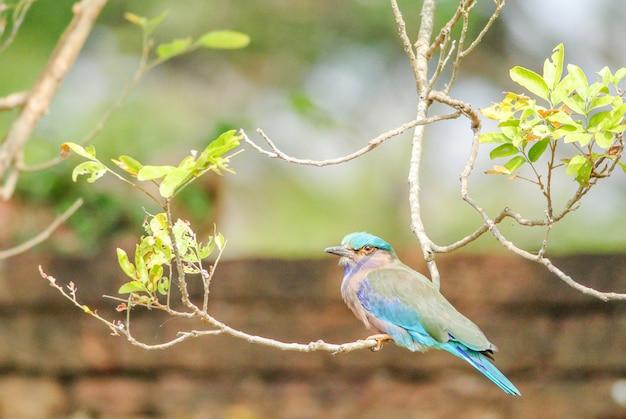 枝にインディアンローラー(coracias benghalensis)