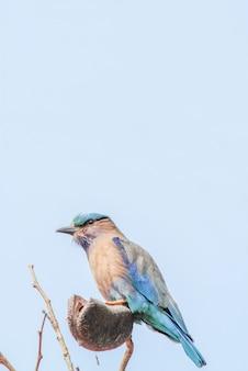 枝にインディアンのローラー(coracias benghalensis)。それらは熱帯アジアの至る所で広く見られます