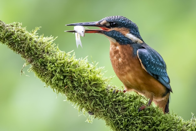 Coraciiformes с красочными перьями, держа рыбу с клювом на размытом фоне