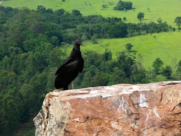 岩の上の黒いハゲタカcoragyps atratus