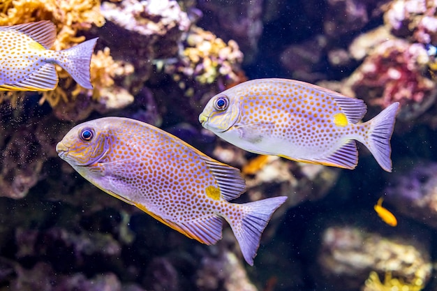 Coral reef with rabbitfish siganus guttatus or orange-spotted spinefoot