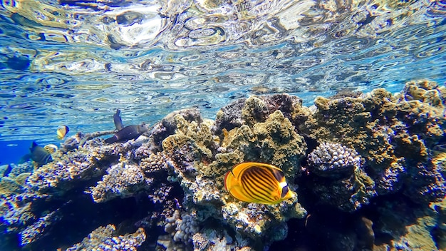 Coral reefs located near the surface of the red sea near which tropical fish swim