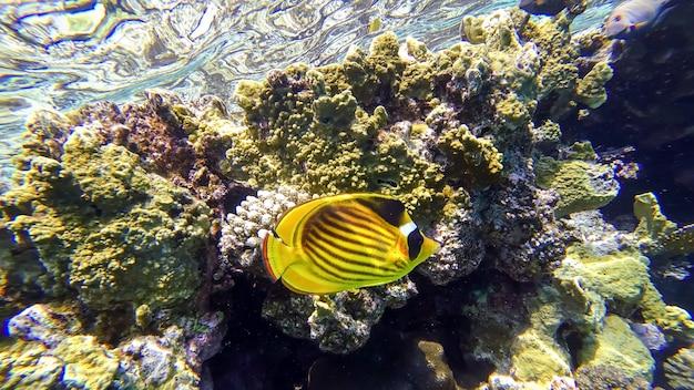 열대어가 헤엄치는 홍해 표면 근처에 위치한 산호초