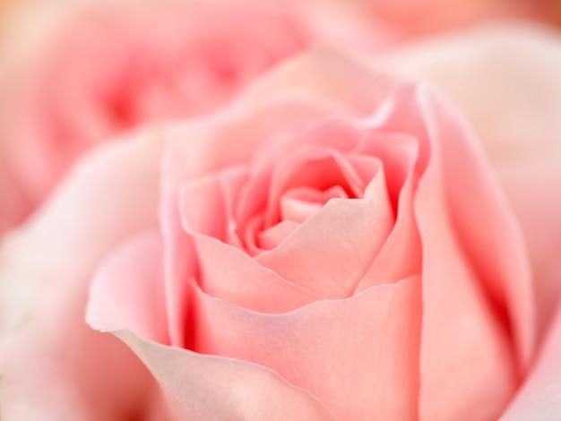 Коралловый цветок розы. детальная ретушь Premium Фотографии
