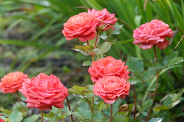 Coral roses in full bloom in a rose garden