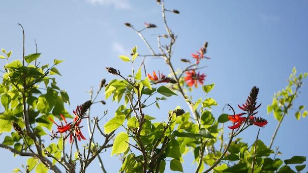 Цветок кораллового дерева красный в саде, калифорния, сша. пламя erythrina, весеннее цветение, романтическая ботаническая атмосфера, нежный экзотический тропический цветок. весенние яркие краски. мягкая свежесть размытия