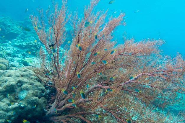 Coraline algae coral