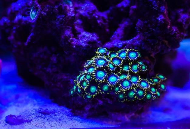 Corals in the marine aquarium