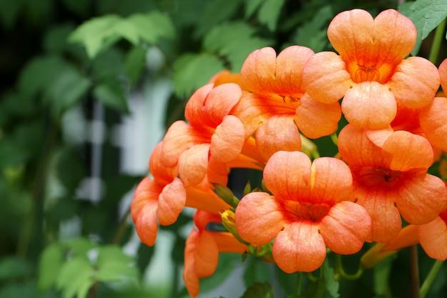 Оранжевый cordia цветы в цветущих на дереве.