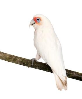 Длинн-представленный счет corella - изолированный cacatua tenuirostris на белизне. по внешнему виду он похож на маленького кореллу и какаду с хохлатой серой