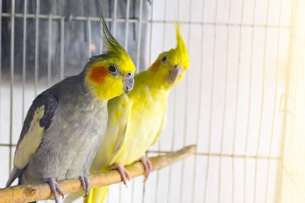 Желтые и черные попугаи corella сидят на качелях в клетке