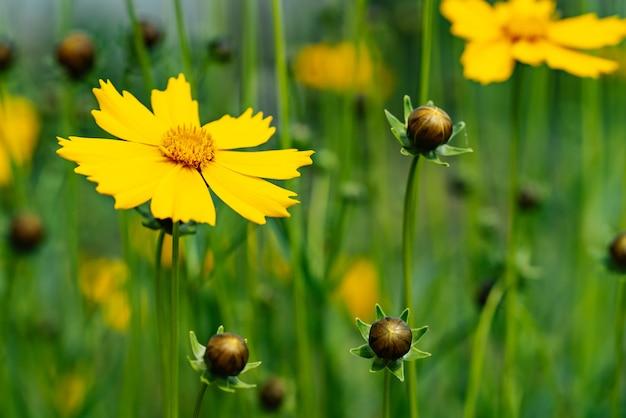 Цветы кореопсиса в саду в солнечный день
