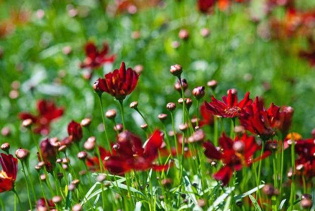 Coreopsis limerock ruby (tickseed) красные цветы, цветущие в саду