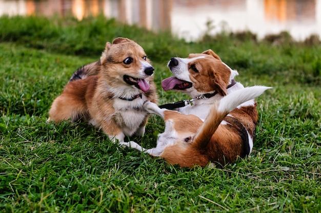 Корги и бигль бегают вместе, игривые щенки прыгают и играют на зеленом поле