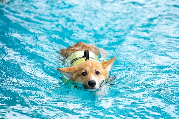 Corgi dog puppy play at the swimming pool