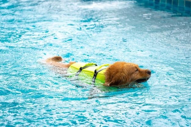 Corgi dog puppy play at the swimming pool Premium Photo