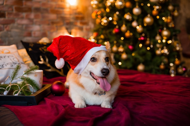 Corgi dog in santa hat lying on bed at home