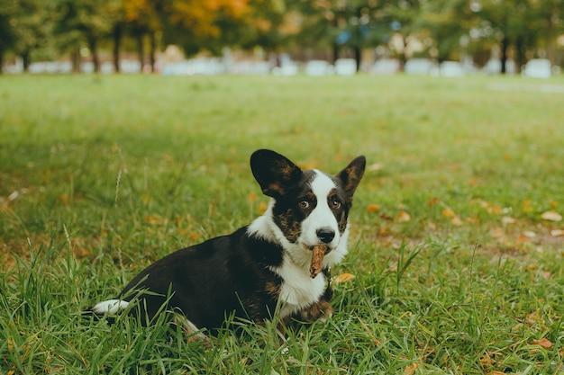 Собака корги сидит на траве