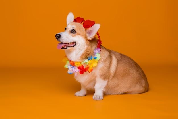 Corgi dog in sunglasses and hawaiian beads on yellow