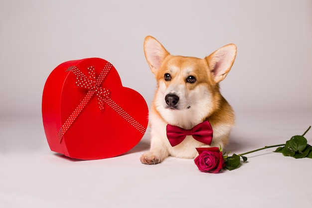 Corgi dog with a red heart-shaped gift box and a red rose on a white wall