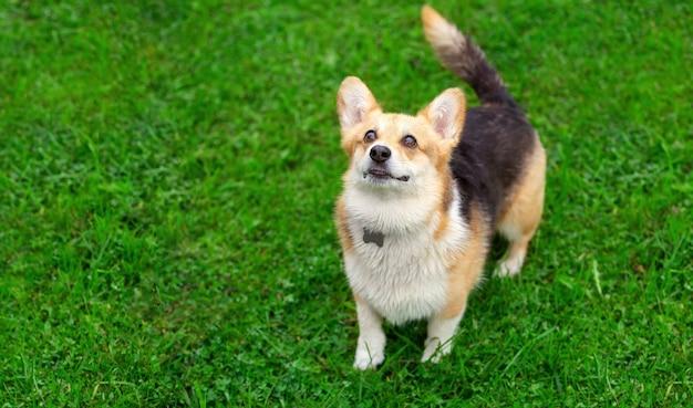 緑の芝生の上を歩くコーギー犬秋の日