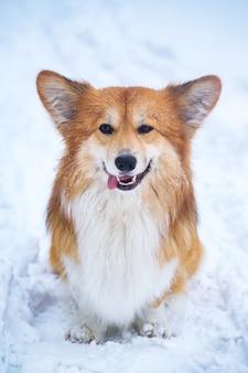 야외에서 코기 푹신한 개. 눈에서 초상화를 닫습니다. 겨울에 산책