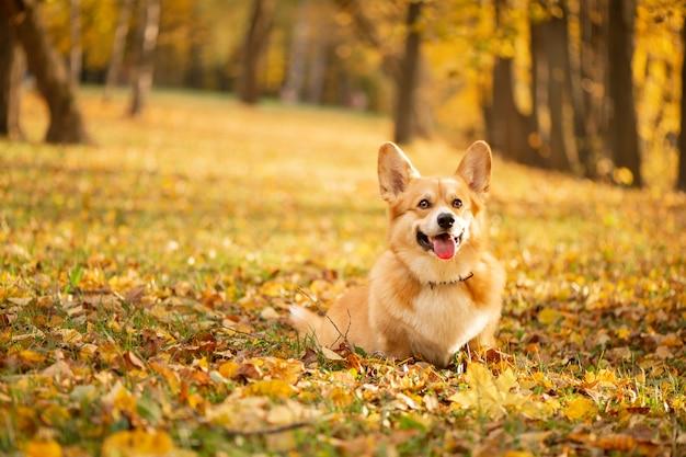 金の落ち葉の秋の公園でコーギー