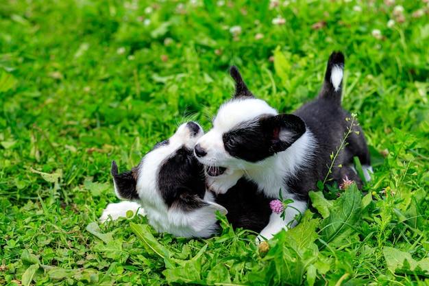 コーギーの子犬が芝生で遊ぶ