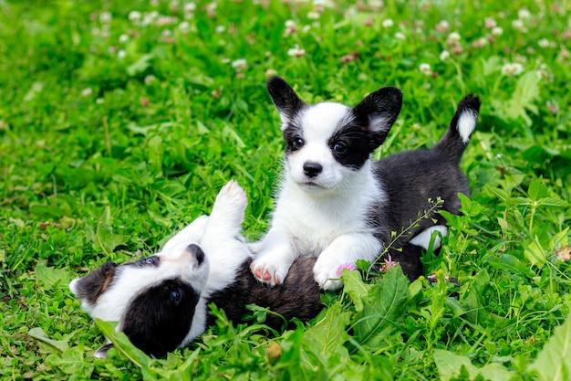 Щенки корги играют на траве.
