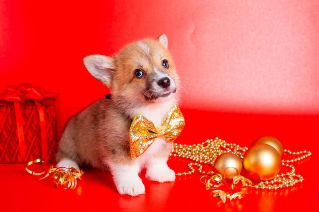 Corgi puppy on christmas decor on red background