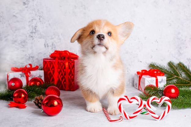 Corgi puppy, gift box on christmas background