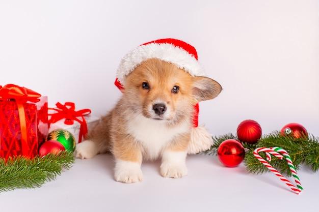 선물 흰색 배경에 산타 모자에 corgi 강아지