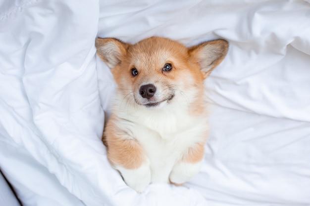 コーギーの子犬はベッドで寝ている毛布の下に横たわっています