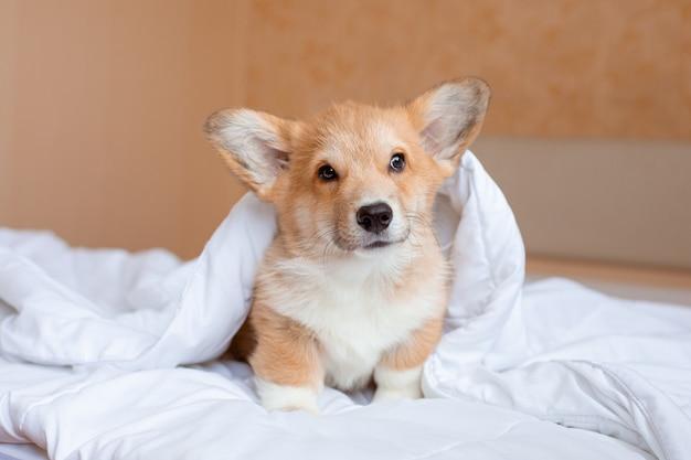 담요 아래 침대에 corgi 강아지