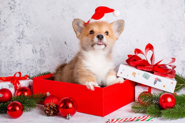 Corgi puppy in santa claus hat on christmas background with gifts