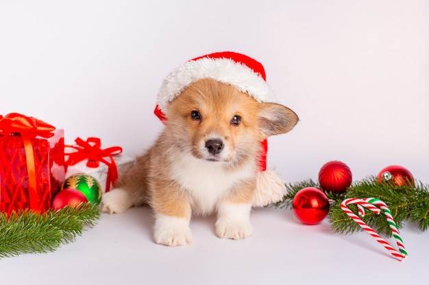 Corgi puppy in santa hat on white background with gifts