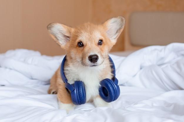 ベッドに座っているヘッドフォンを身に着けているコーギー子犬
