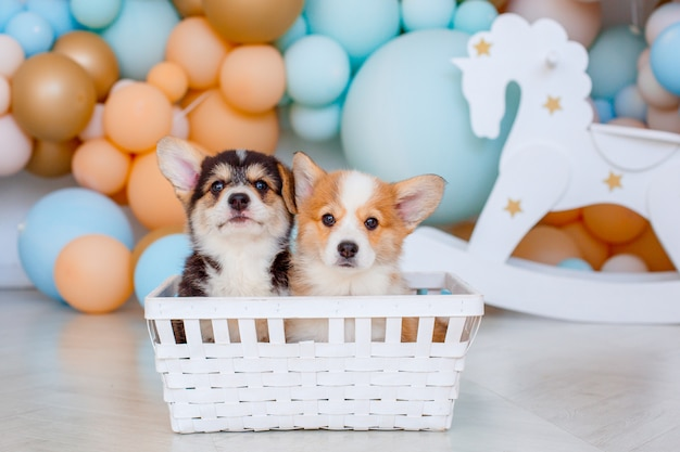 Corgi puppy welsh pembroke sitting on a background of balloons