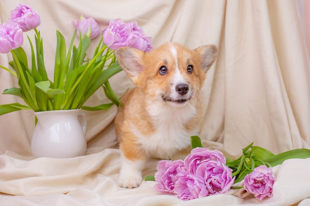 Corgi puppy with a bouquet of purple tulips studio