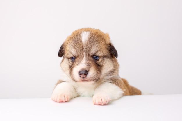 コーギーウェルシュペンブロークの子犬は白い背景に横たわる