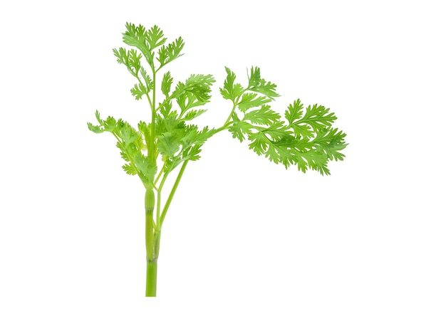 Coriander leaf isolated on white