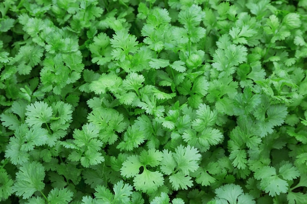 Coriander leaves for food.