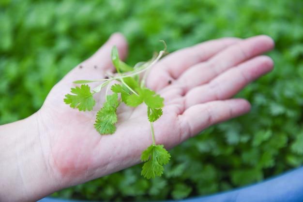 Листья растения кориандра под рукой, собирая в стене природы graden - зеленый кориандр оставляет овощи для пищевых ингредиентов