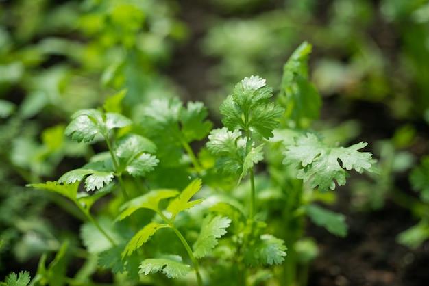 Coriander in vegetable garden