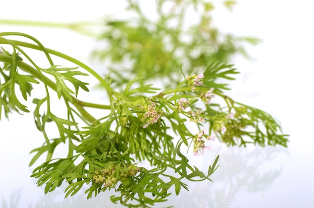 Coriander with flowers on a white background