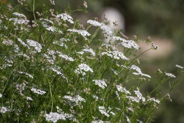コリアンダー(coriandrum sativum)
