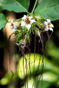 Corkscrew flower or strophanthus preussii on nature background.